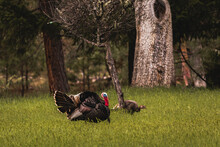 Horizontal Image Of Male Toms Wild Turkey Displaying Their Plume Of Puffed Feathers And Red And Blue Gobble To Prospective Female Mates In A Green Field With Forest Trees In The Background.