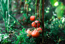 Ripe Red Tomatoes On Branch Of...