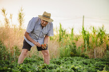 Aged Male In Casual Clothes And Straw Hat Picking Ripe Red Strawberry While Spending Summer Day In Rural Garden In Countryside