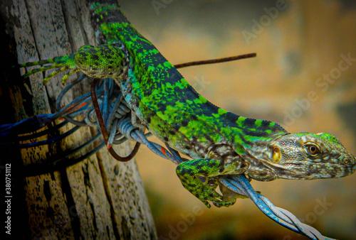 Obraz na plátně iguana verde sobre alambre de púas