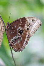 Mariposa Tropical Peleides Morfo Azul Posada En Un Cordón, Tiene Las Alas Plegadas Y Muestra Siete Ocelos.