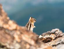 A Cute Chipmunk Runs About The...