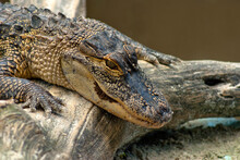 Young Alligator Close - Up