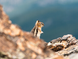 A cute Chipmunk runs about the Rocky Mountains outside of Denver Colorado