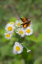 Folded Wing Skipper Butterfly On A Daisy Fleabane Flower