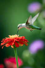 Ruby Throated Hummingbird With Flower
