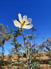 The Mexican Poppy (Argemone Ochroleuca) Is A Pretty Weed