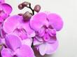 canvas print picture - Violet-pink orchid Phalaenopsis Big Lip, Miki Dancer cultivar, macro photography, selective focus, horizontal orientation.
