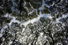 Wide Angle Abstract Shot Of Tipuana Tipu Trees Against The Sky, Buenos Aires, Argentina