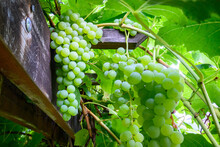 White Grapes Growing On Vines ...