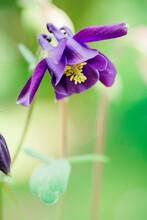 Flowering Purple Granny's Bonnet (Aquilegia) With Yellow Pistils