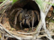 Female Wolf Spider In Her Burrow