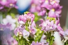 秋に植え付けて春に鑑賞するストックは優しい芳香のある花で咲いている期間が長く続きます