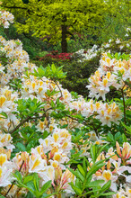 Azaleas And Rhododendrons In An Arboretum In Spring