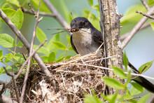 An Eastern Kingbird Feeding A ...