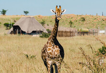 Giraffe On The Game Reserve, In Front Of A Rondavel
