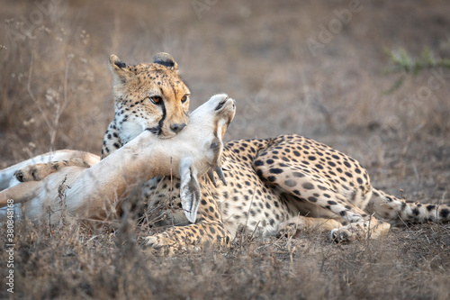 Fototapeta Adult cheetah holding a dead antelope by her teeth lying down in Ndutu in Tanzan