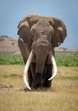 Vertical Portrait Of A Male Bull Elephant With Massive Tusks Walking Towards Camera With Blue Sky In The Background In Amboseli In Kenya