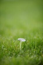 Delicate Almost Translucent Mushroom In The Grass