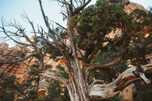 Juniper Tree In The Grand Canyon
