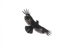 Isolated Carrion Crow In Fligh...