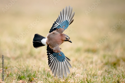 Canvastavla Isolated Eurasian jay in flight with fully open wings