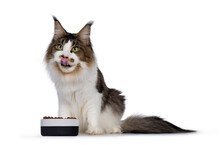 Handsome Young Maine Coon Cat,...