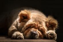 Cute Chow Dog Sleeping On The ...