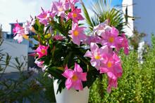 Mandevilla Blüte Rosafarben