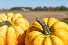 Closeup Of Two Large Yellow Gourds In Front Of An Agricultural Field. Autumn And Halloween Concept. Image With Selective Focus.