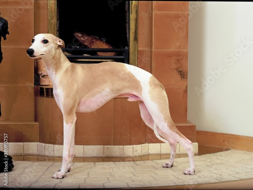 whippet Canvas-taulu