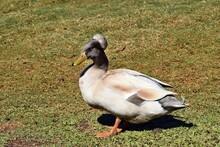 Pretty Australian Crested Duck
