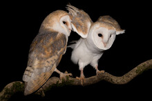 Amazing Portrait Of Barn Owl M...