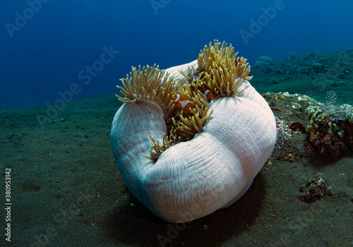 Stampa su Tela Western Anemonefish - Amphiprion ocellaris in anemone