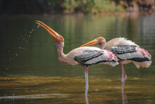 Painted Stork On The Water