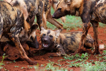 African Wild Dog Eating From A...
