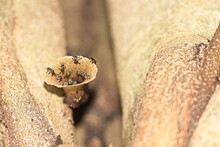 Stingless Bees, Also Known As Meliponines, Come And Go Via The Beeswax Tube That Is The Entrance To Their Hive. Class: Insecta, Order: Hymenoptera,Family: Apidae, Subfamily: Apinae,Tribe: Meliponini.