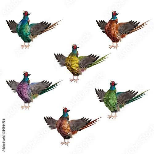 Fotomural coq, faisan, poule, ferme, nature, isolé, ailes, chant, volaille, rouge, bec, oi