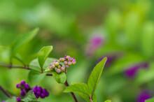 紫色の実がなるコムラ...