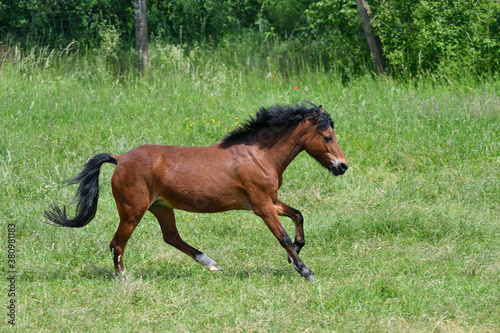 Foto A cute bay pony galloping in a green meadow.