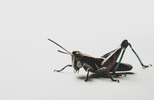 Colorful Mexican Grasshopper D...