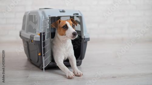 Obraz na plátně Dog jack russell terrier inside a travel carrier box for animals