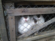 rabbits in a cage on a farm