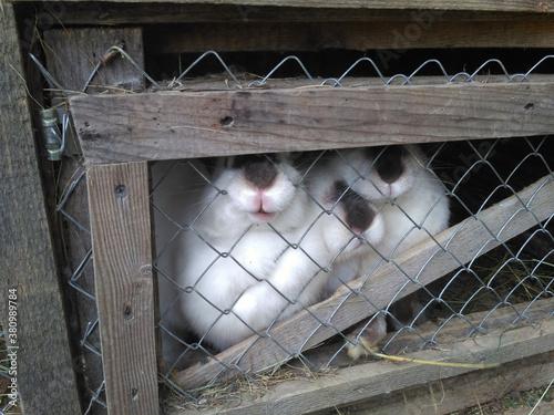 Fototapeta rabbits in a cage on a farm obraz