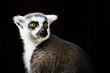 Portrait d'un lémurien maki catta