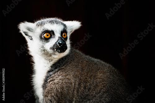 Fototapeta Portrait d'un lémurien maki catta obraz
