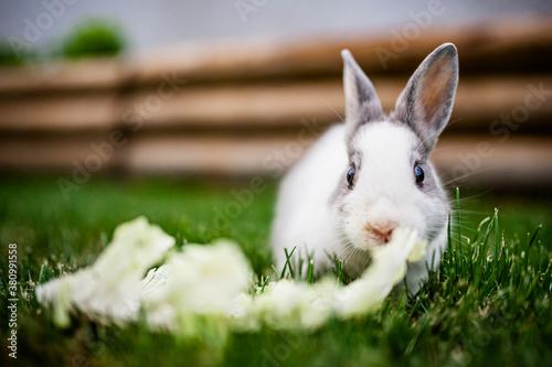 Fototapeta Adorable bébé lapin gris et blanc en train de manger de la salade dans le jardin