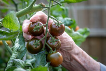 Picking Tomatoes In A Greenhouse