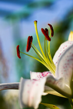 White Planted Bulbous Lily Sta...