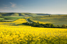 Flowering Oilseed Rape Blowing In The Wind At The South Downs National Park In East Sussex